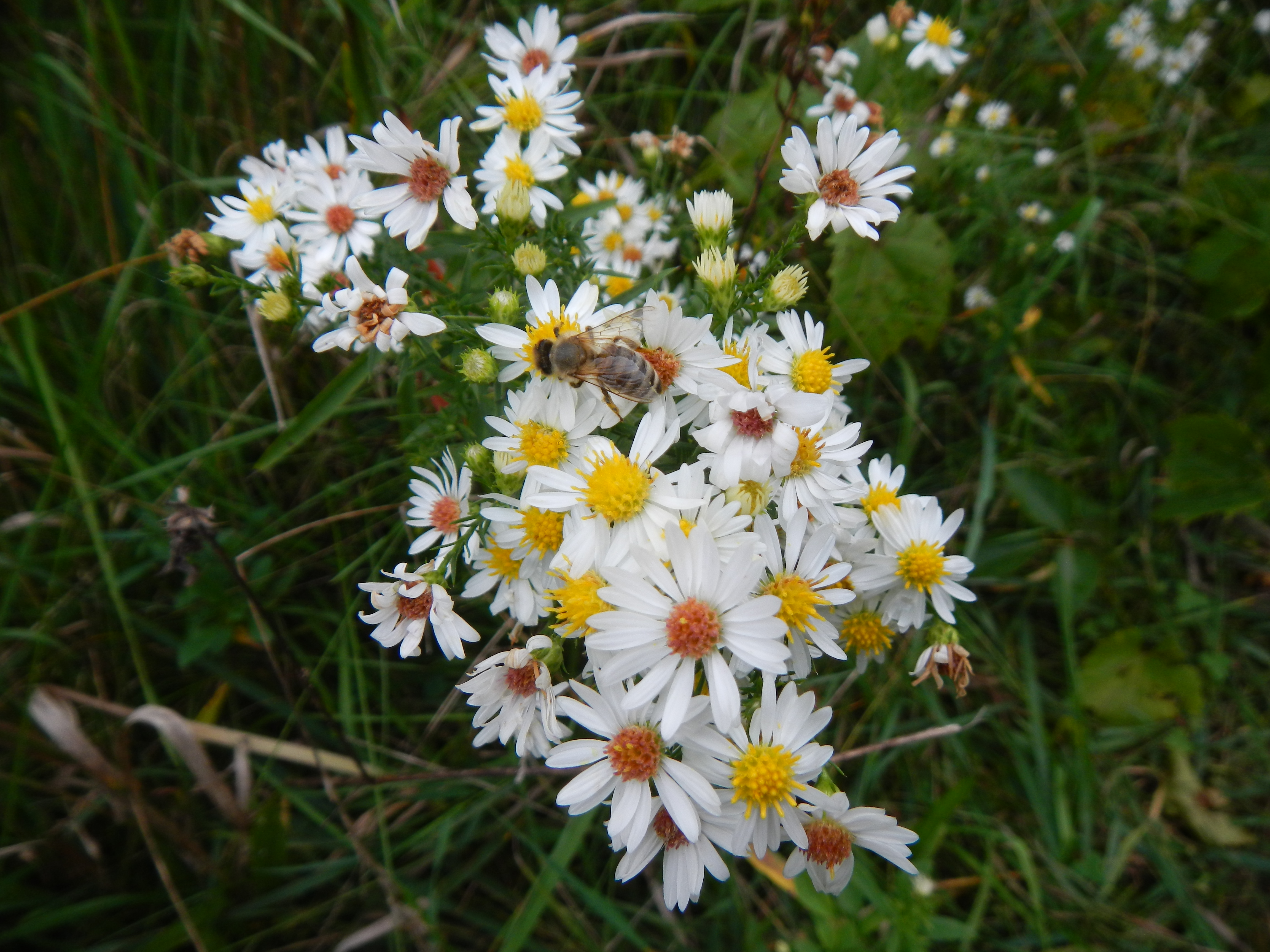 Glad to see a honeybee on asters