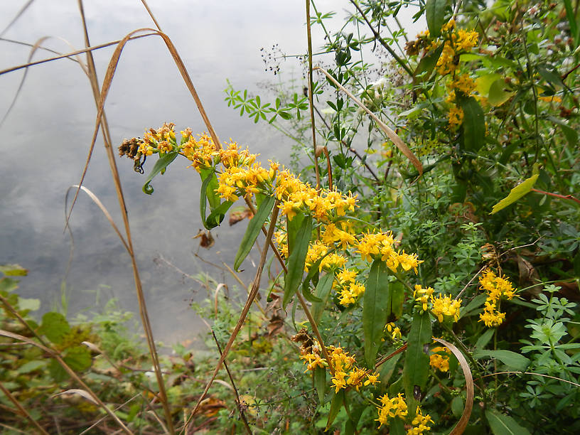 Still quite a few goldenrods blooming in the woods