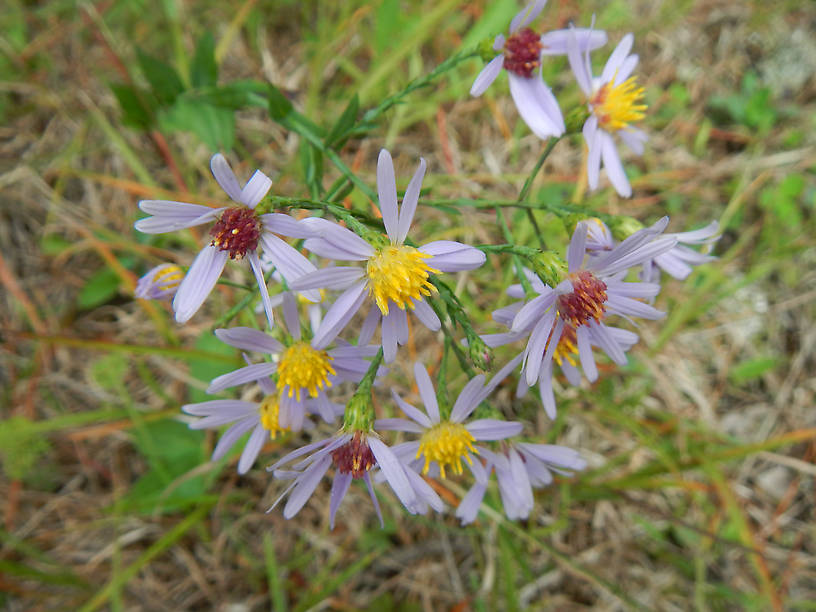 Blue asters are everywhere