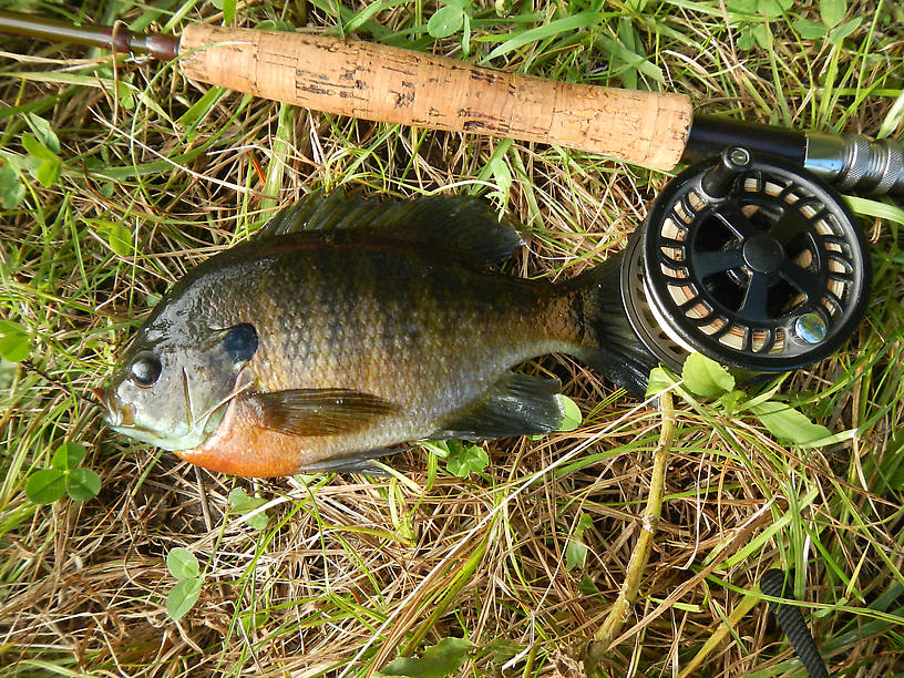 Finally some fishies!  Big fat colorful bluegill from Clark's Marsh
