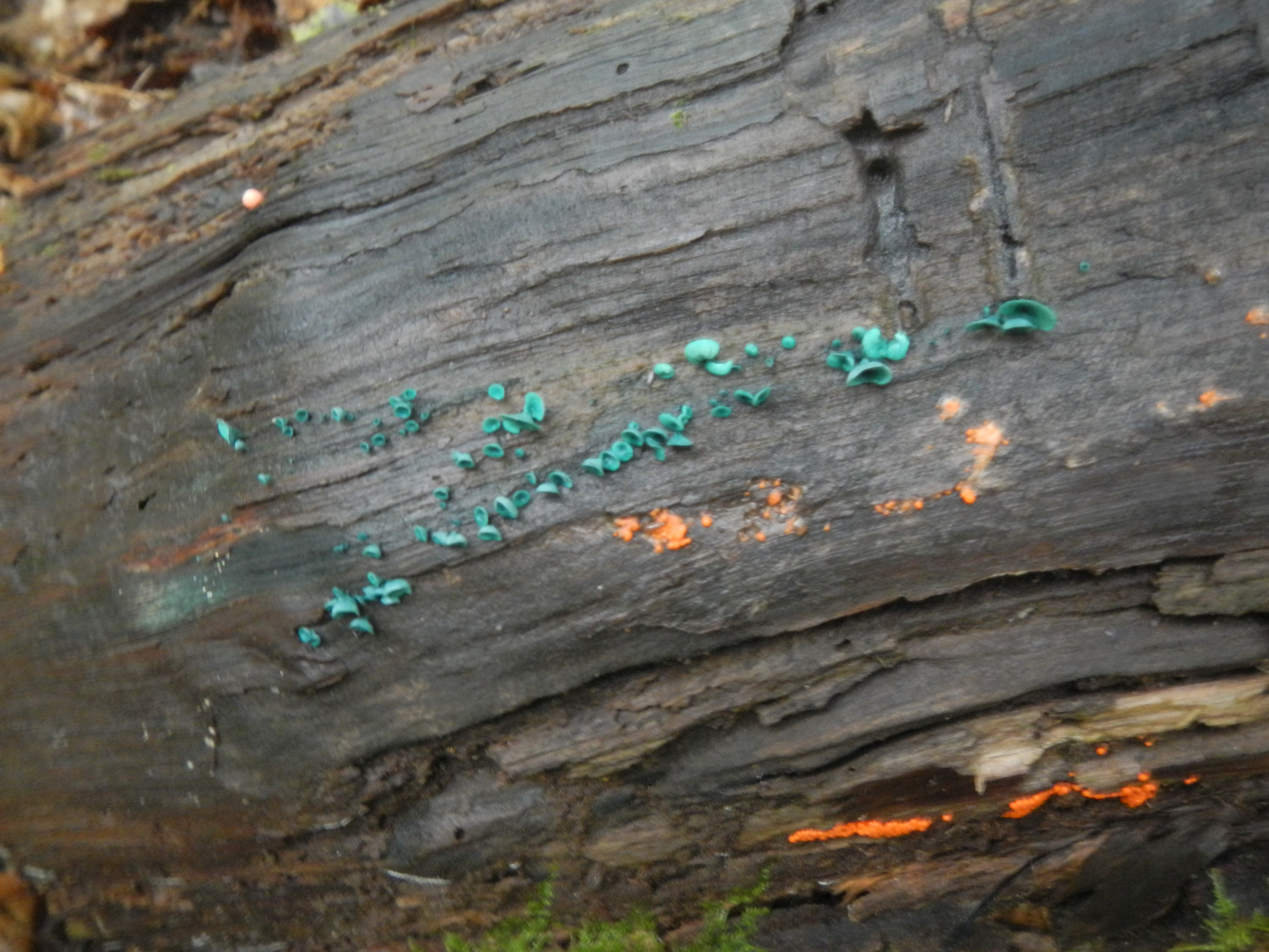 How about a tiny green one?  Chlorociboria aruginascens (sp.?), a remarkable fungus that stains wood blue, and you rarely see it fruiting like this!