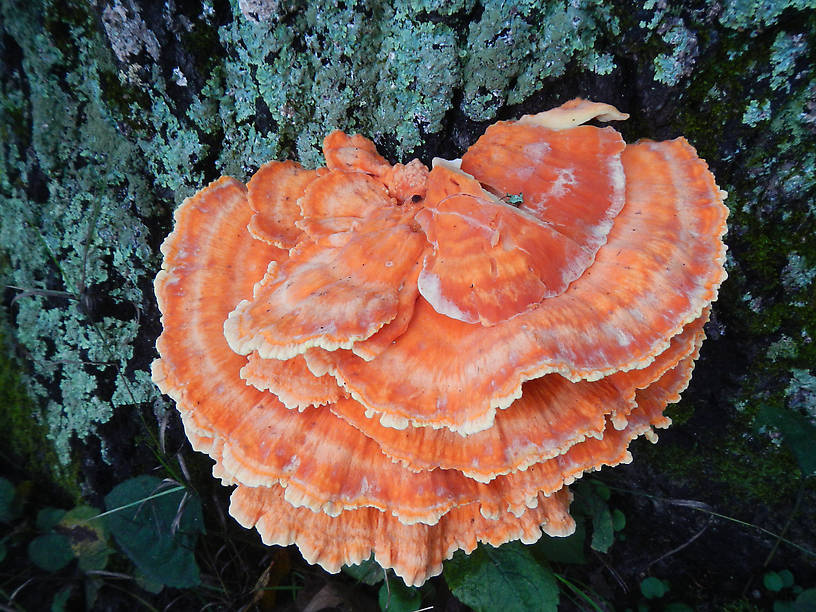 The orange mushroom I most wanted to see!  Chicken-of-the-woods or sulfur shelf, Laetiporus sulphureus