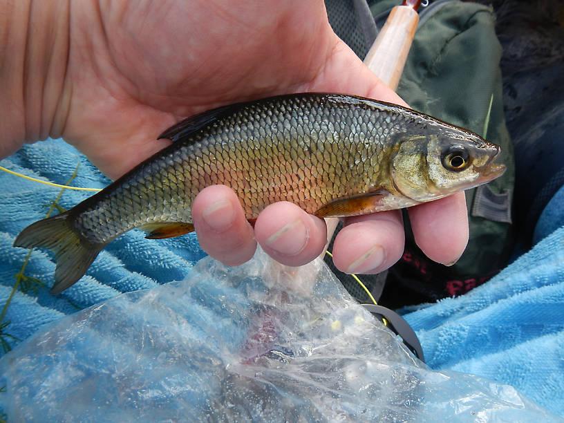 Muskie bait??  Biggest freakin' golden shiner I've ever seen in my life, bent the rod too!