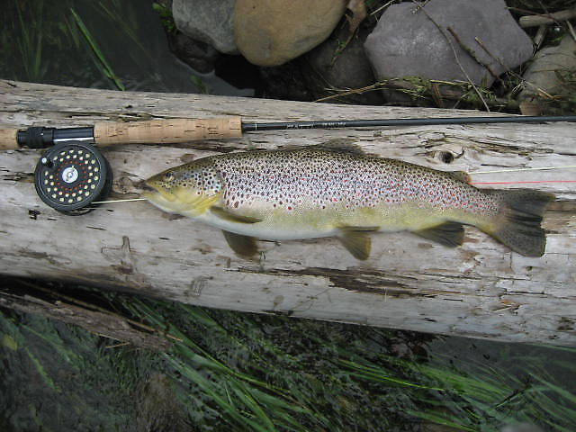 I kept this fish for my wife.  The 2nd trout I killed in twenty years on the WB. When I cleaned this brown it had FOUR undigested, freshly swallowed, alewives in it's stomach and two partially digested alewives in it's intestine.  Talk about gluttony!