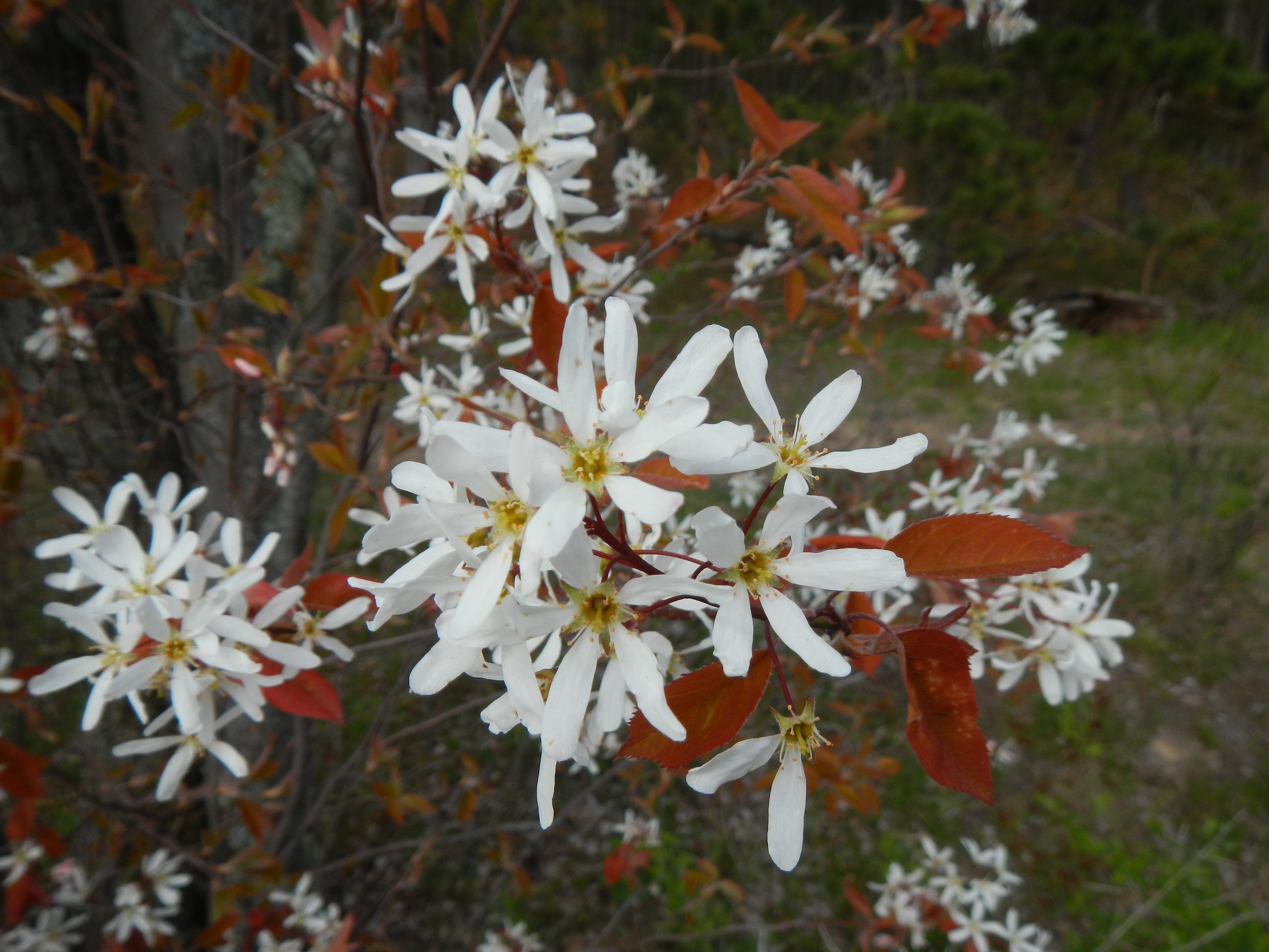 Serviceberries in bloom along the Au Sable