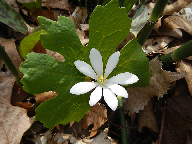 Last of the bloodroot (Sanguinaria canadensis), this bloomed a month ago downstate!