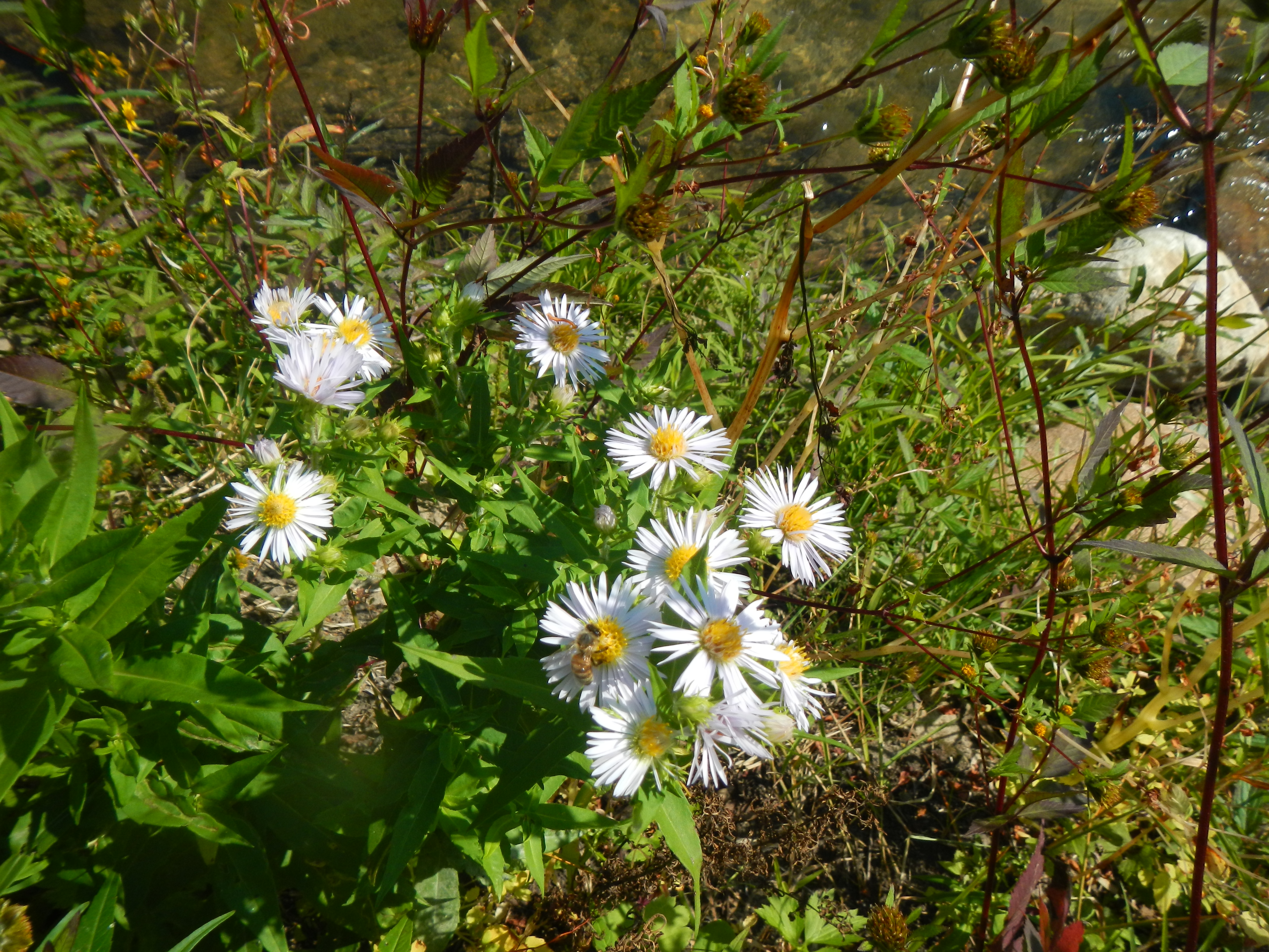So are our asters - complete with honeybee