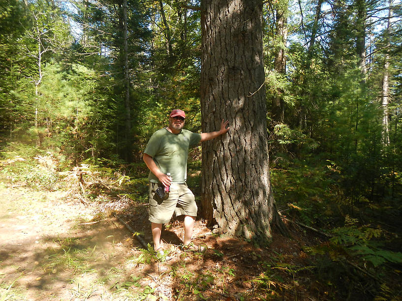 Massive eastern white pine, near... the Pine!
