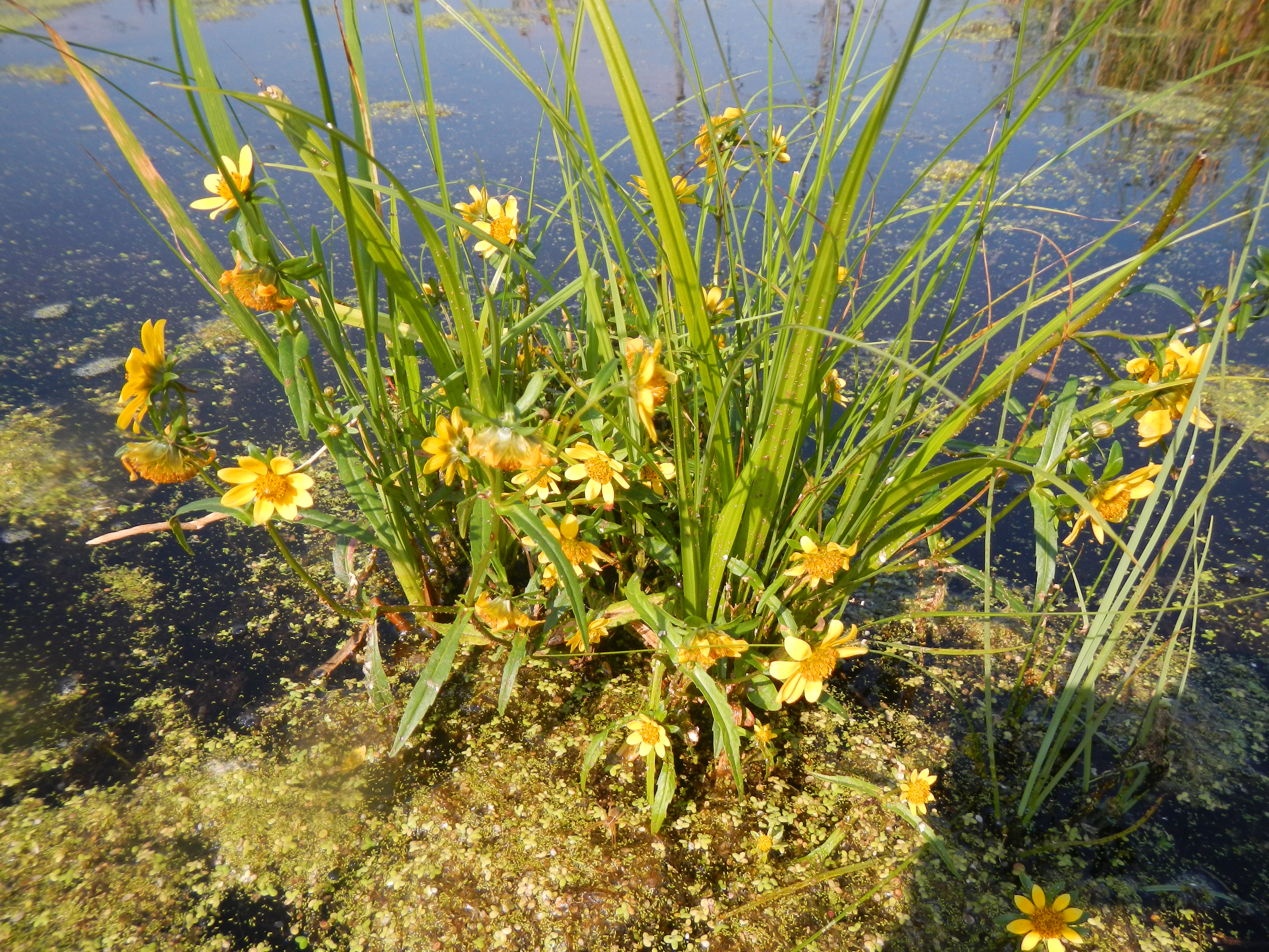 Wildflower bouquet in the middle of the marshlands (Bidens sp., possibly beckii?)