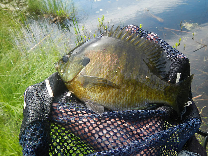 9 and 1/2 inches of bluegill, female