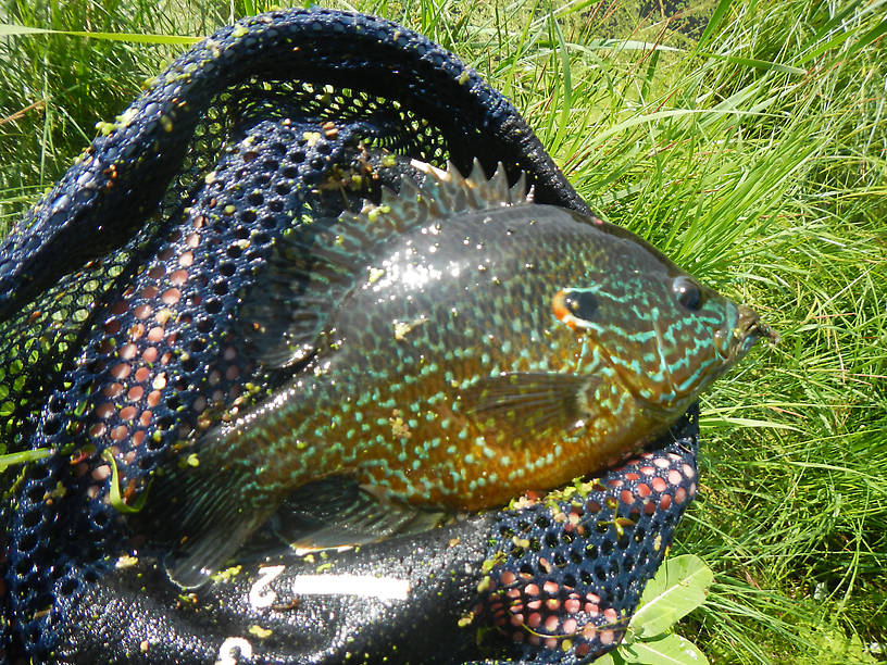 "The ""little guy"" for the day - 8 1/2"" pumpkinseed, male"