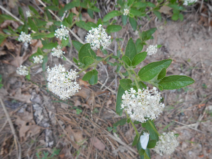 ...along with New Jersey tea (Ceanothus americanus)
