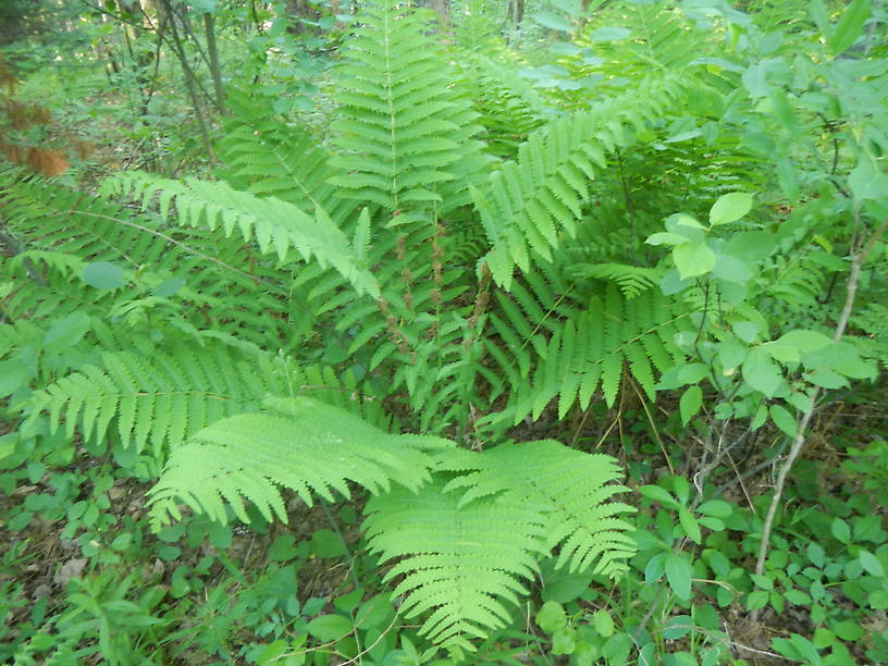 Interrupted fern, Osmunda claytoniana - the brown things in the middle of the fronds are fertile pinnules where spores are produced