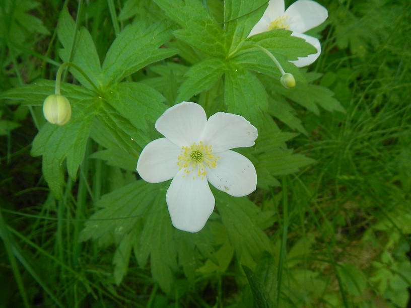Canada anemone, Anemone canadensis