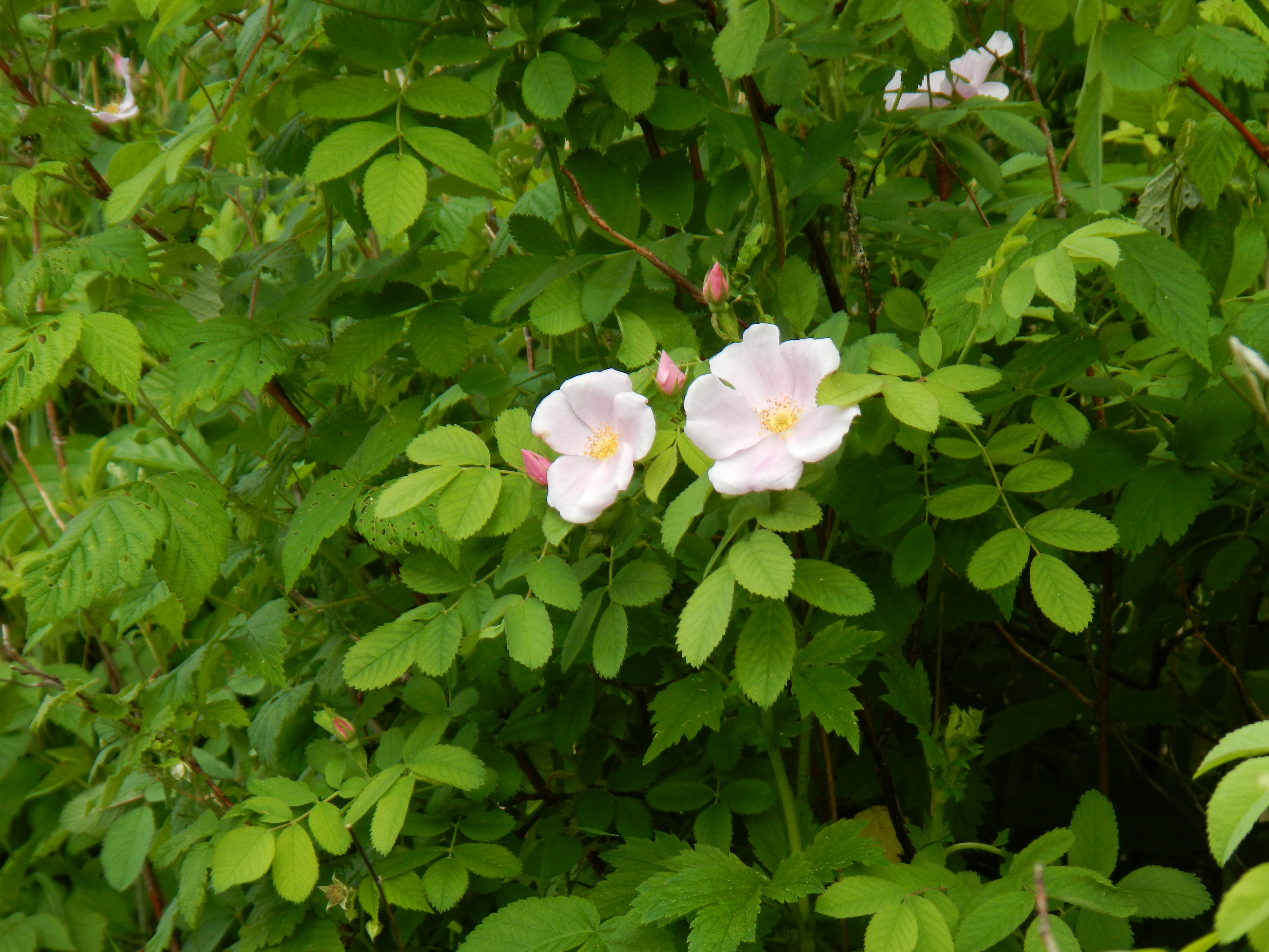 There were magnificent - and fragrant - wild rose bushes blooming on the shore