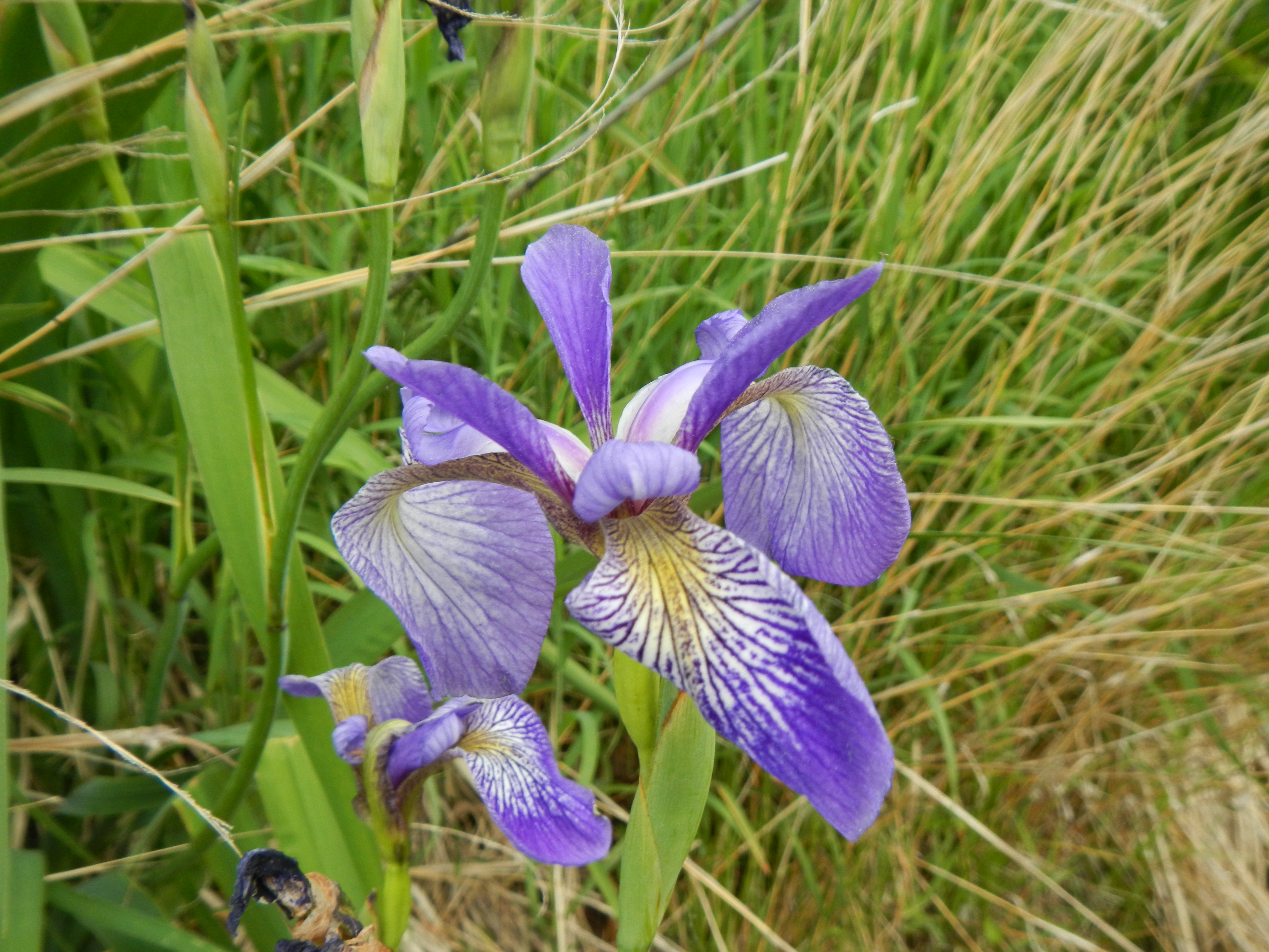 Irises are in full bloom everywhere now