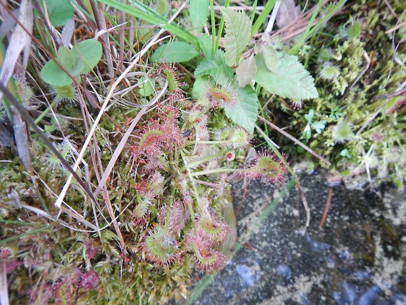 Roundleaf sundew (Drosera rotundifolia) - a genuine carnivorous plant, in the same family as Venus flytraps