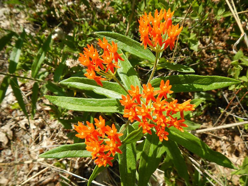 It's milkweed season!  Butterfly weed, Asclepias tuberosa