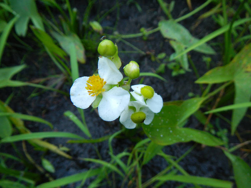 Arrowhead (Sagittaria latifolia), a.k.a. duck-potato