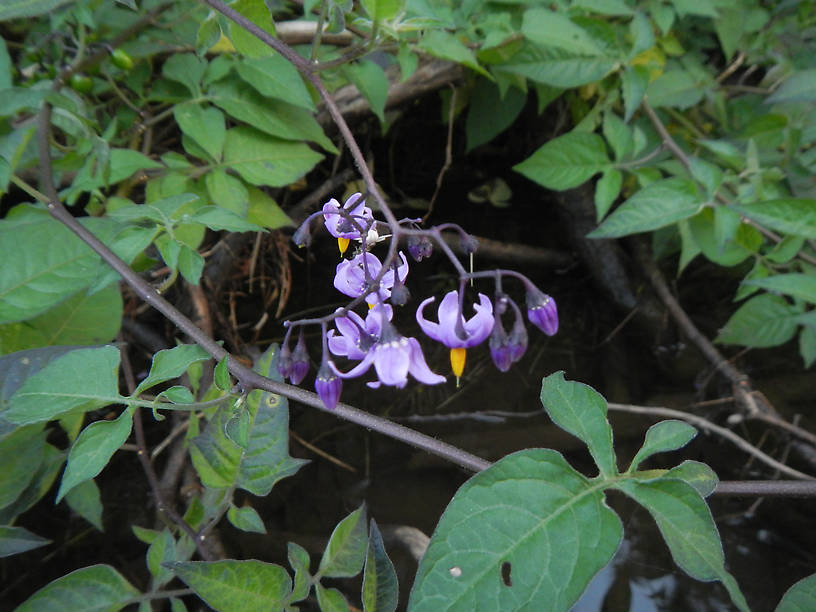 Bittersweet nightshade (Solanum dulcamara)