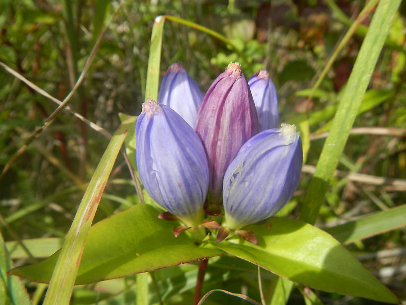 Blue bottle gentian, Gentiana andrewsii
