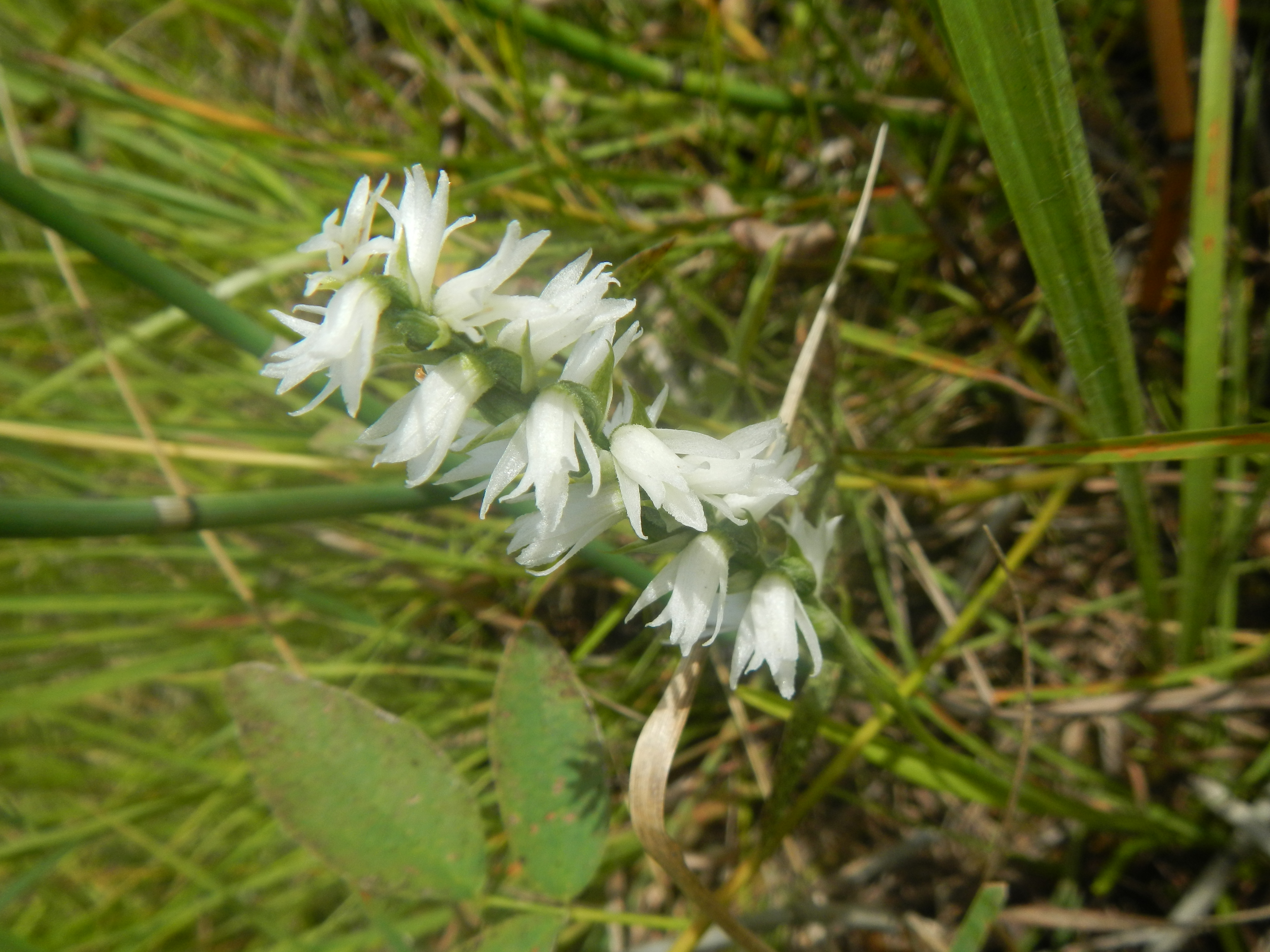 Gotta throw an orchid in there...ladies'-tresses, Spiranthes cernua