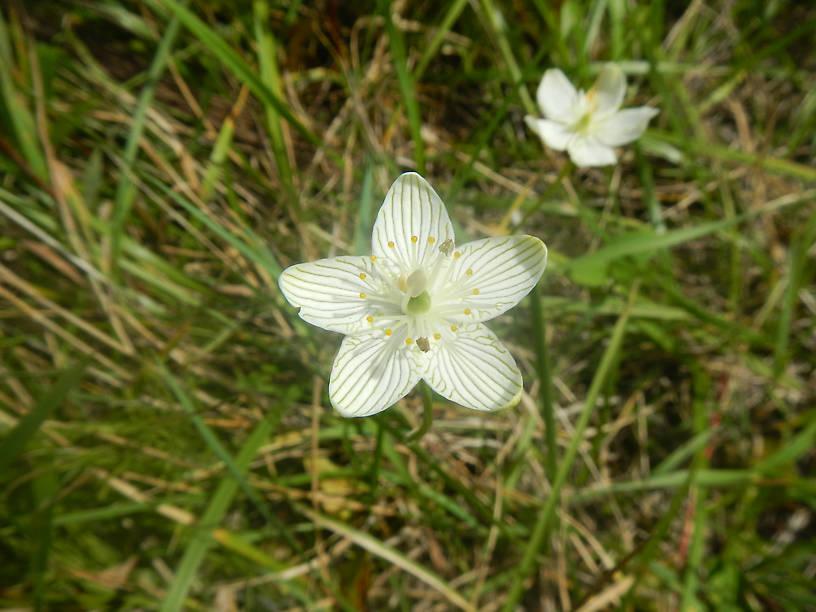Grass-of-parnassius, Parnassia glauca