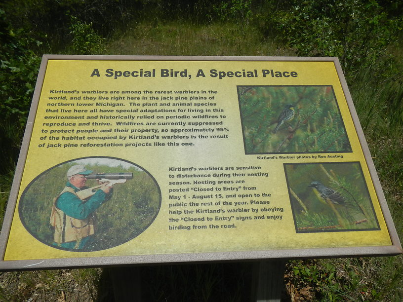 Hey, we're in Kirtland's Warbler habitat!