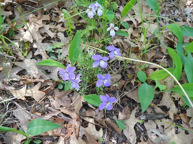 Bird's-foot violets on my front lawn in june