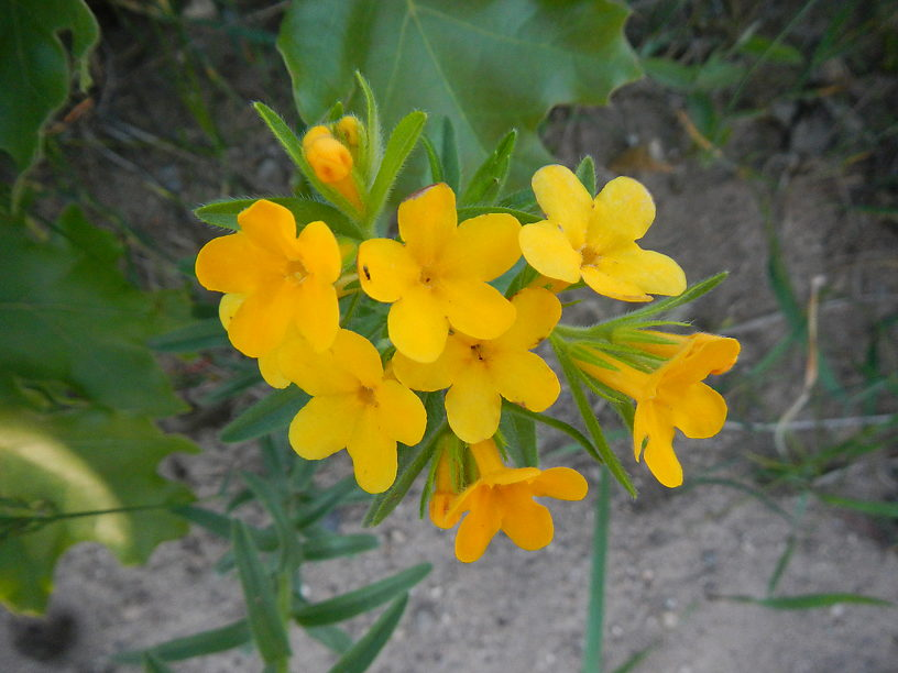 Hoary puccoon flowering back in June - these flowers are in a part of the Alpena State forest just to the north of me that appears to be managed as prairie or savanna