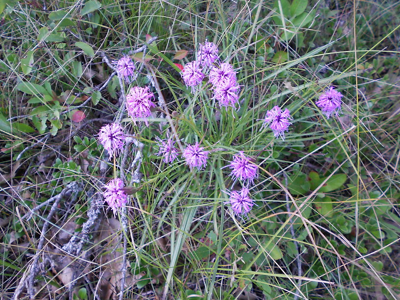 Blazing-stars blooming in the prairie, in an area that has since been burned
