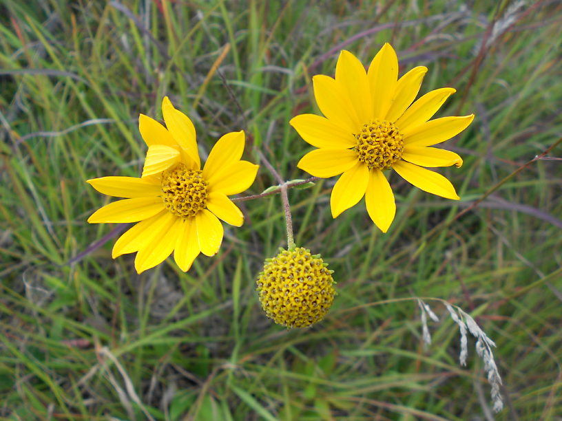 Western sunflower blooming in the prairie - this bloomed all along the road all summer long