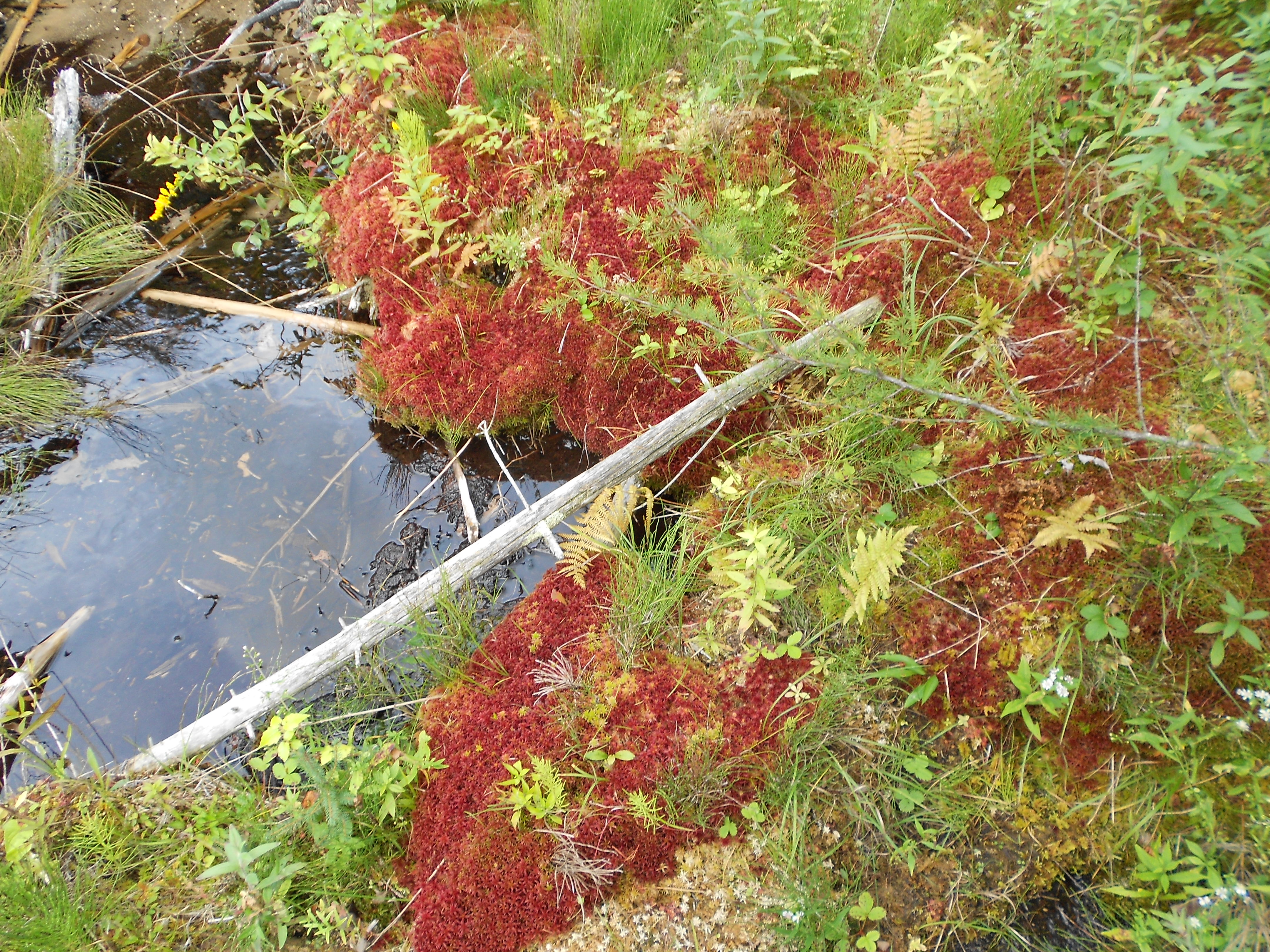 ...red sphagnum moss...