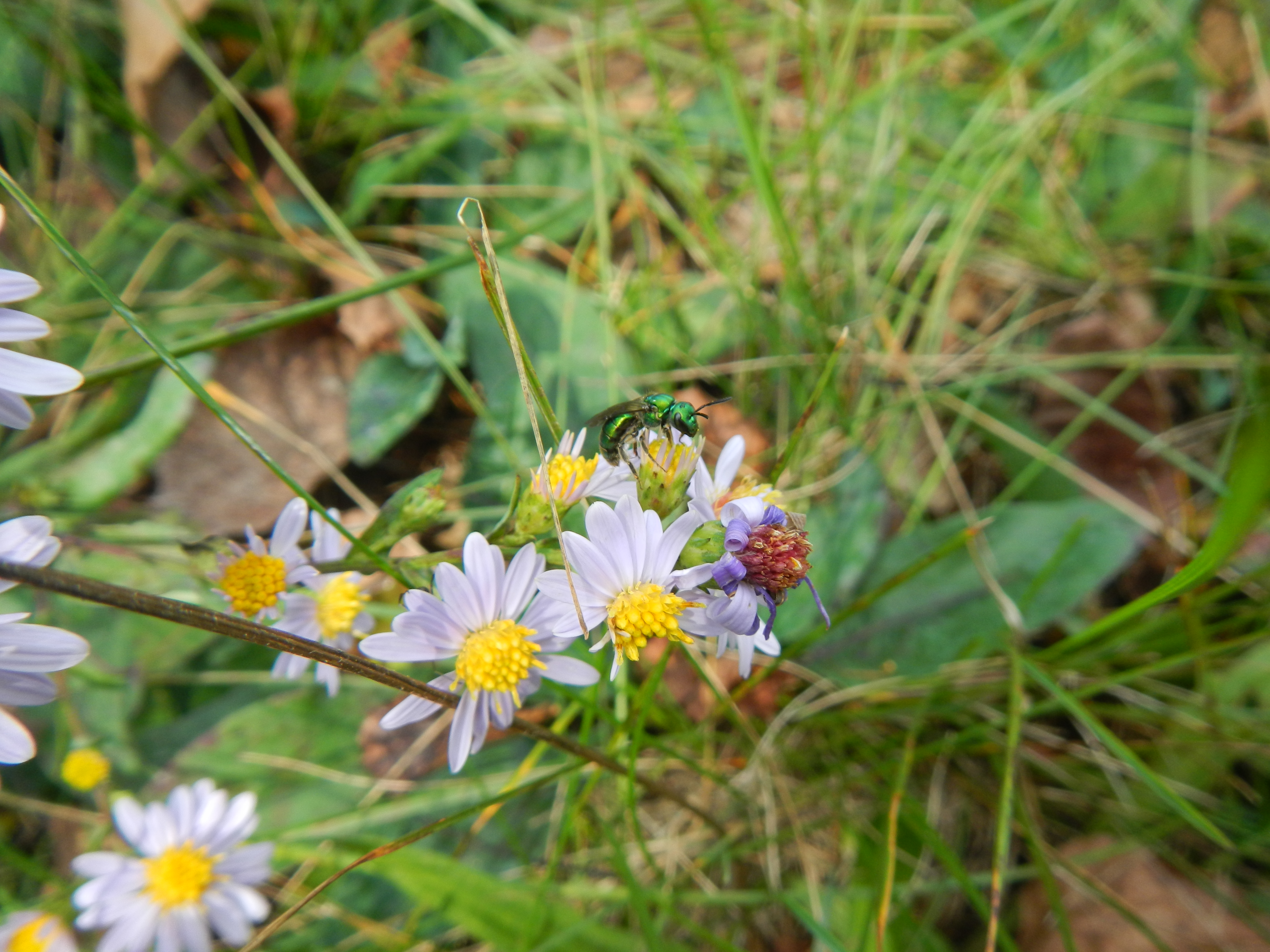 I spotted this lovely little Augochlora bee on a still-blooming sprig of aster in front of my house