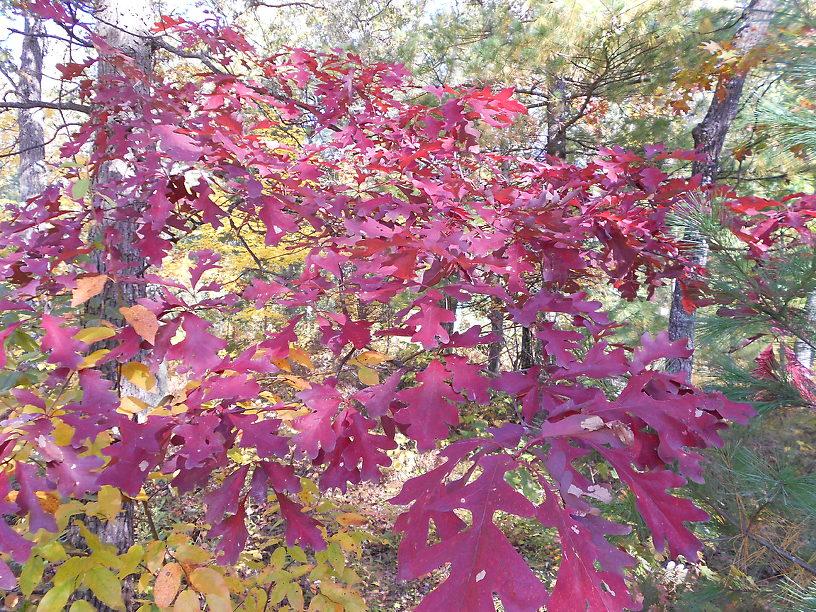 White oaks were amazing last fall