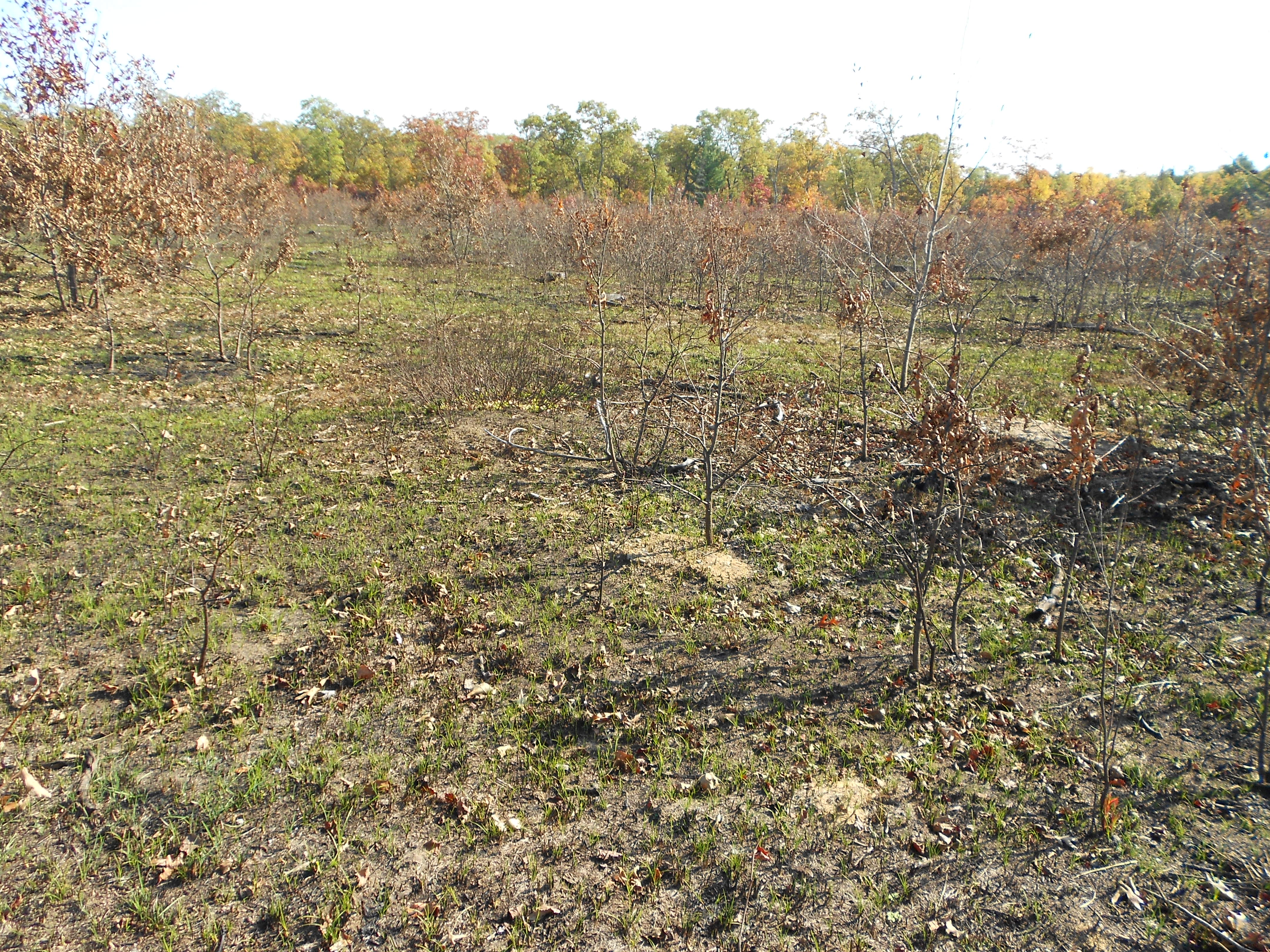 Last fall's controlled burn was revegetating nicely - should be amazing this spring