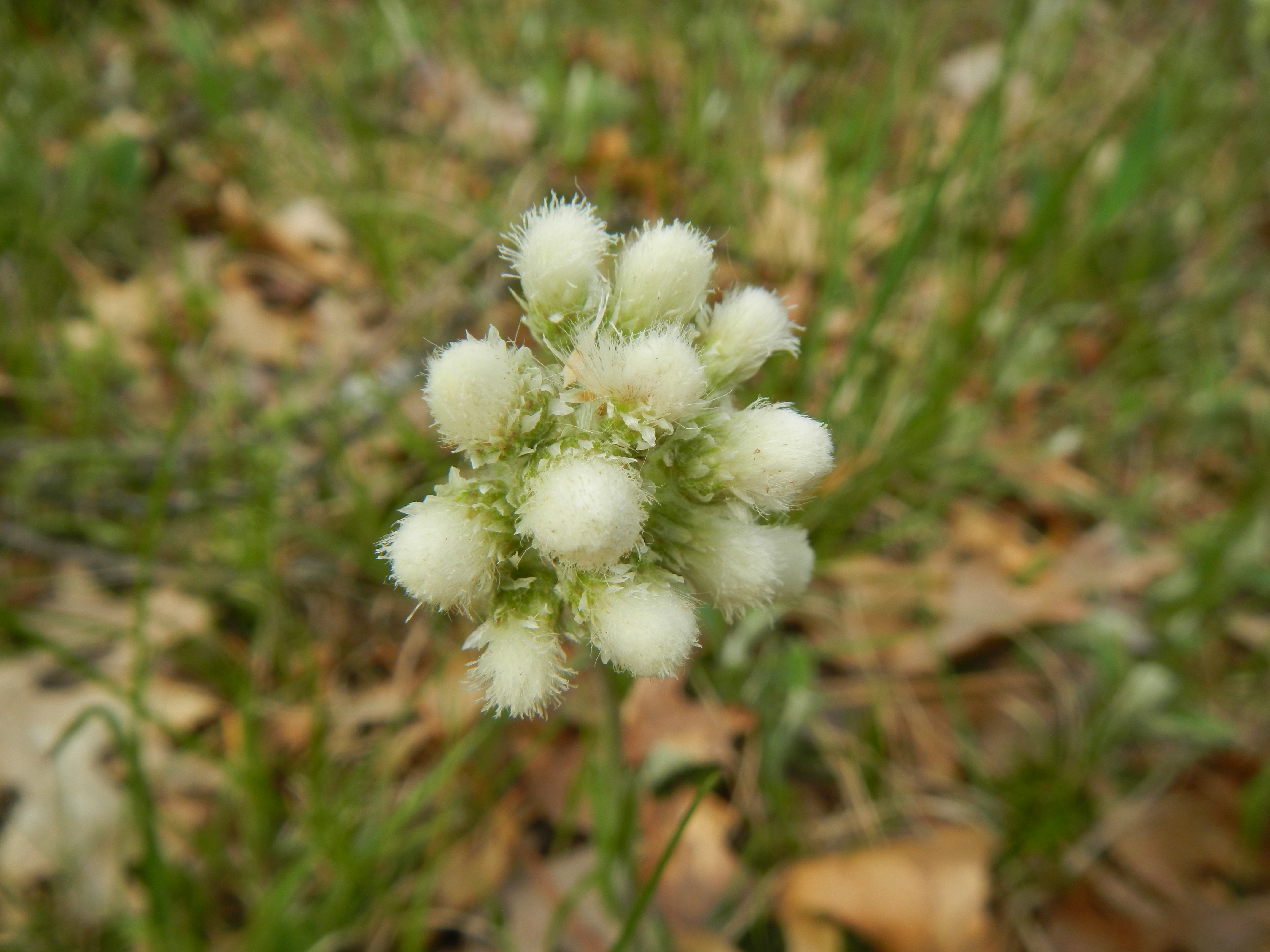 Pussytoes (Antennaria howelli)