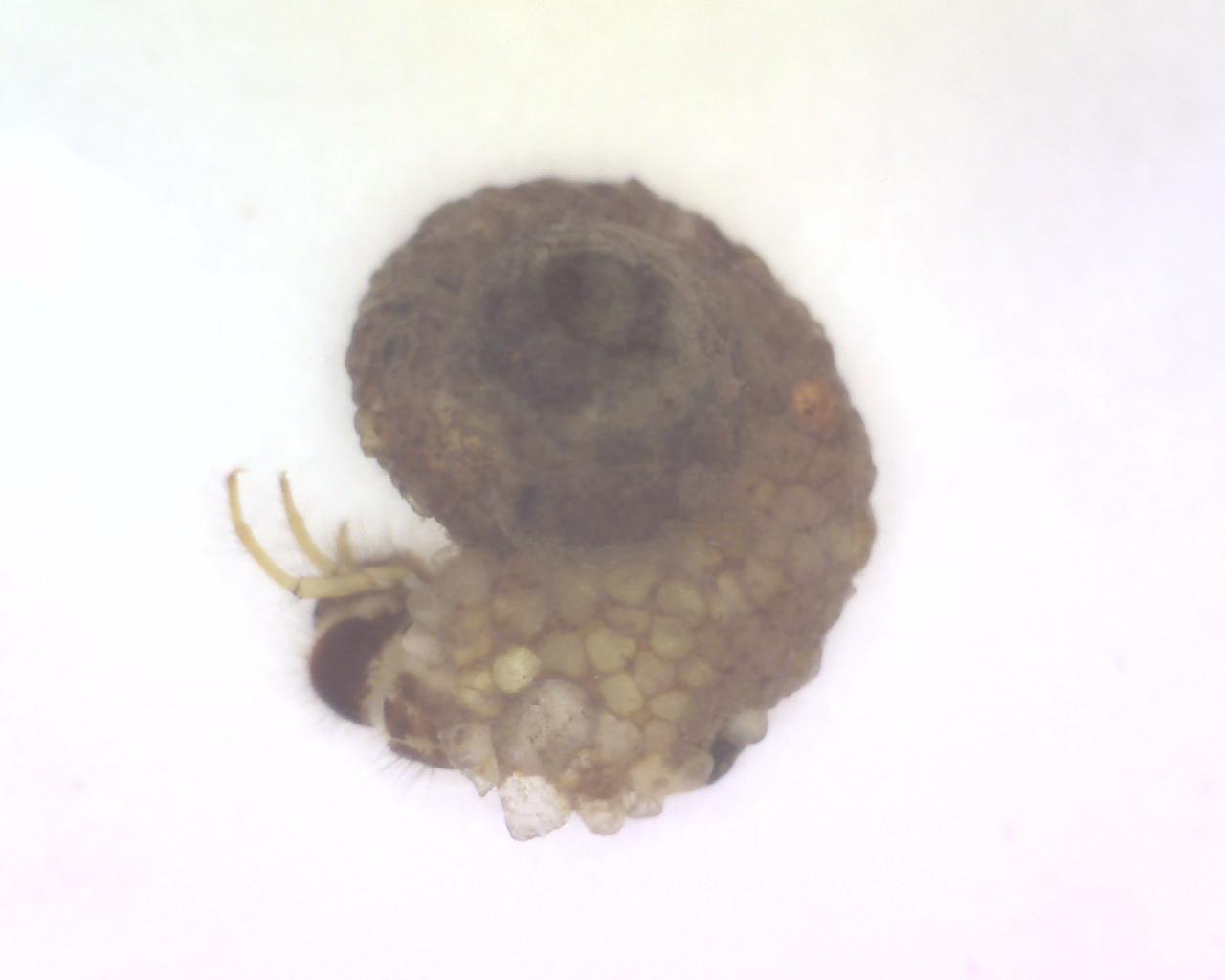 Helicopsychidae (Snail Case-Maker Caddisfly)