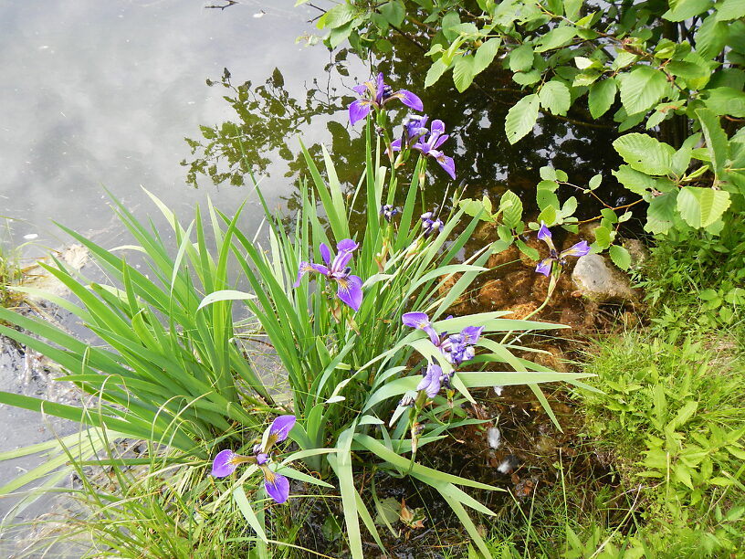 More irises (Iris versicolor), blooming all over the place now