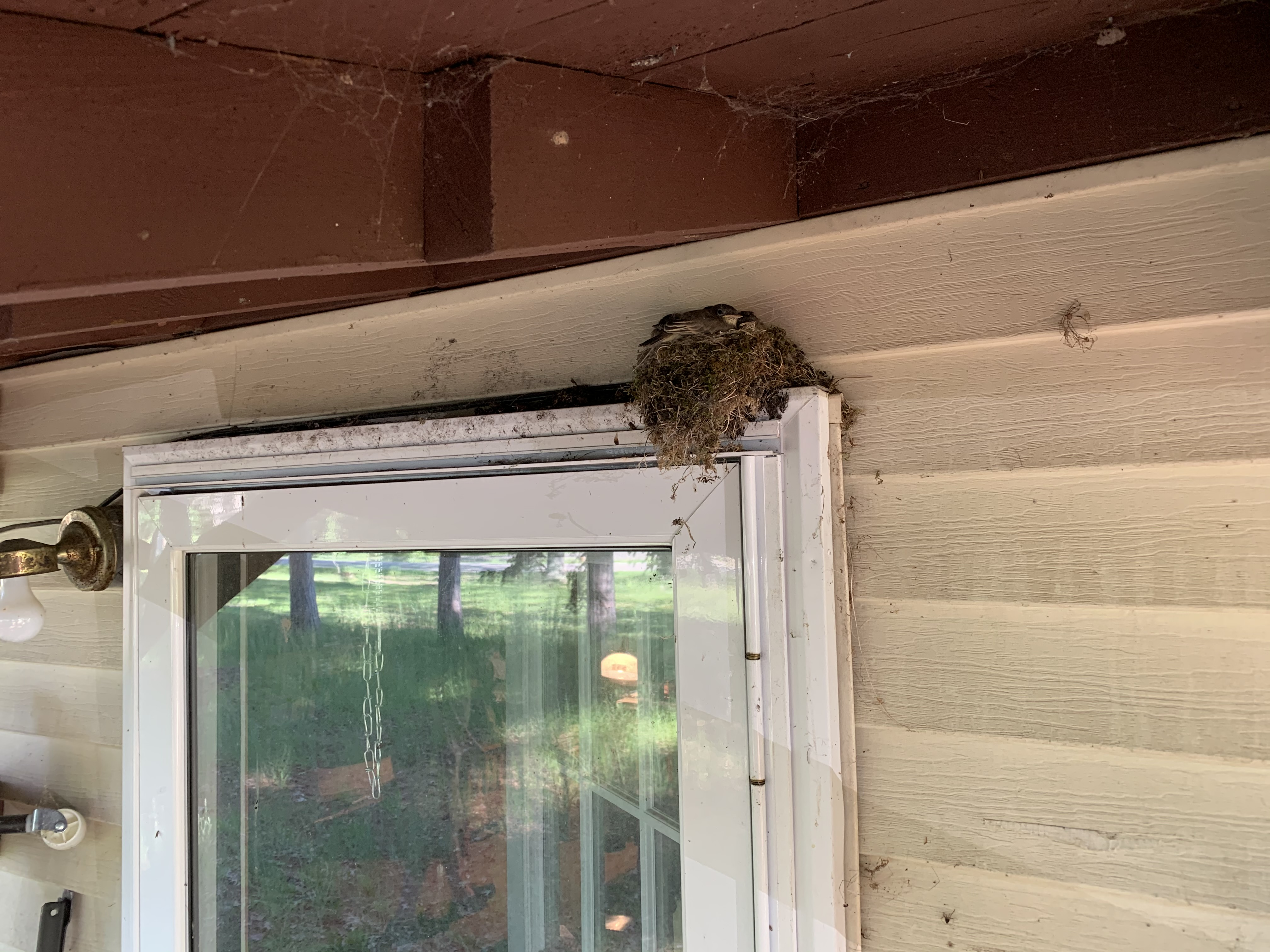 Nest with 5 (at least) baby eastern phoebes right above my front door...that fledged the day after the boys left!