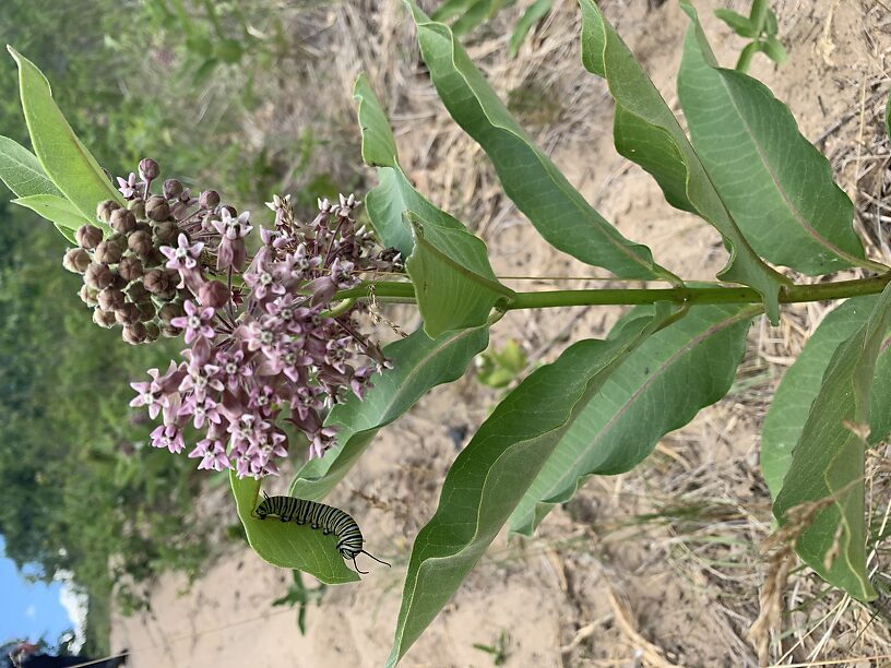 Milkweed with monarch caterpillar! on the hike into the Canyon