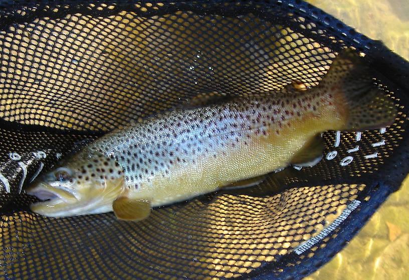 brown trout, East Antietam Creek, 2006 hot day, very low water, black hair cricket