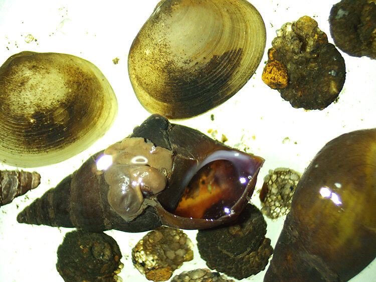 Goniobasis snails, pill clams, and snail-cased caddis larvae (Helicopsyche)