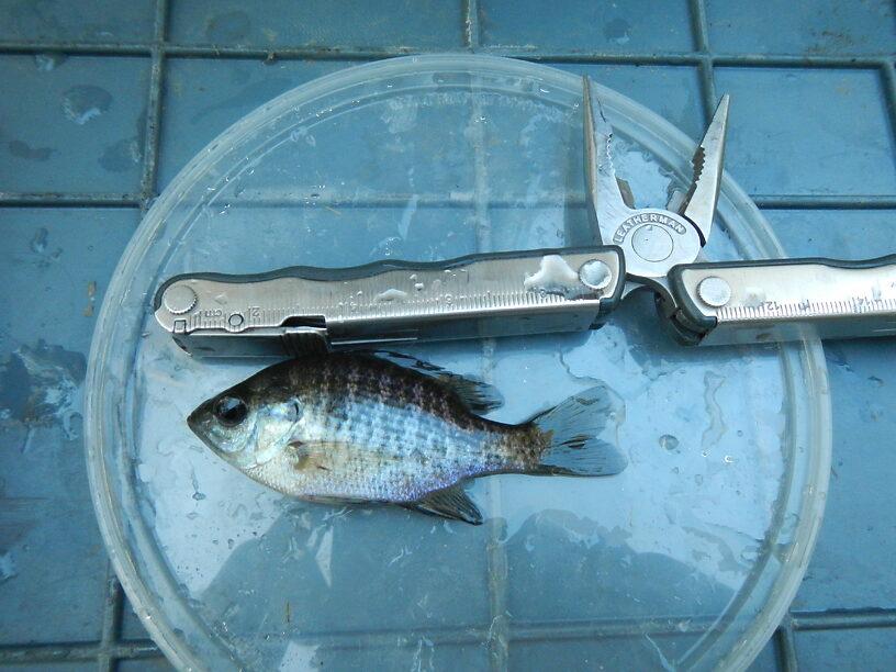 Juvenile bluegill