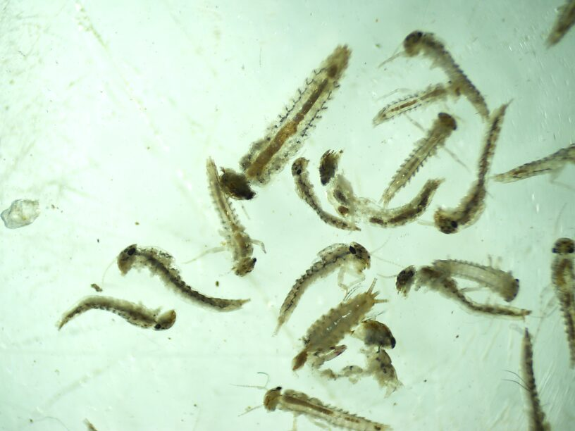 Paraleptophlebia was the second most common taxon after Chironomidae (which I may yet take down to genus!)  Collected over 1100 of these total!