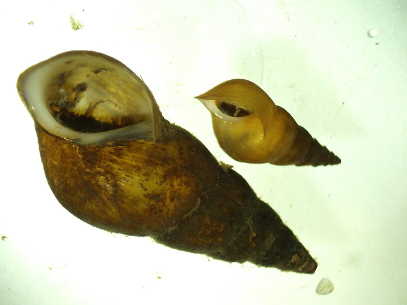 Goniobasis snails were extremely common in some samples (one had 376!)