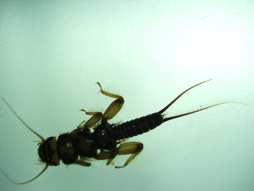 Not many stoneflies turned up in our samples but here's a nice big Acroneuria for ya!