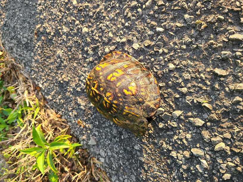 Eastern box turtle, on the list for Indiana as of Special Concern...I haven't seen one since I was in Missouri in 1997!