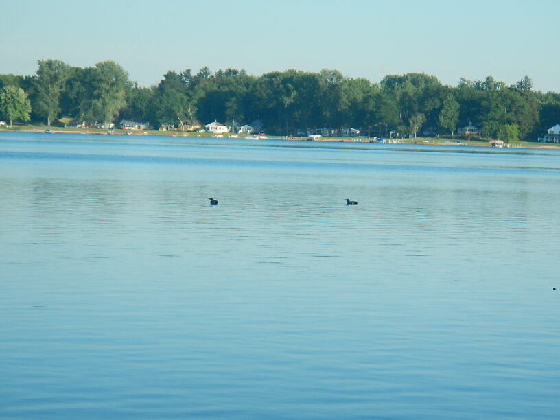 Loons on Cowden Lake
