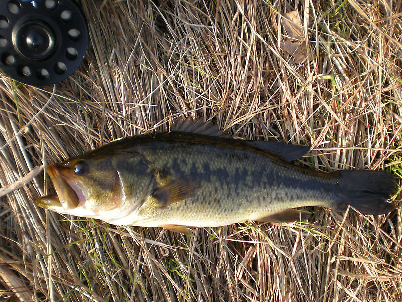 """Largemouth from Clark's Marsh (""""backyard"""", actually about a 40-minute walk from my house)"""